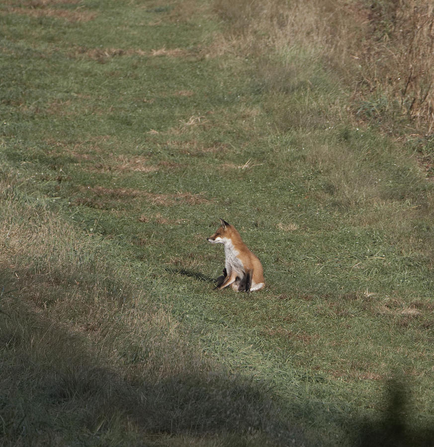 Fox Bsking in the Sun 1 by Paul Ross