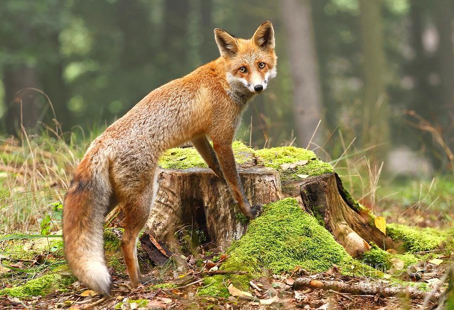 Woolly Photograph - Fox On Stump by Miroslav Hlavko
