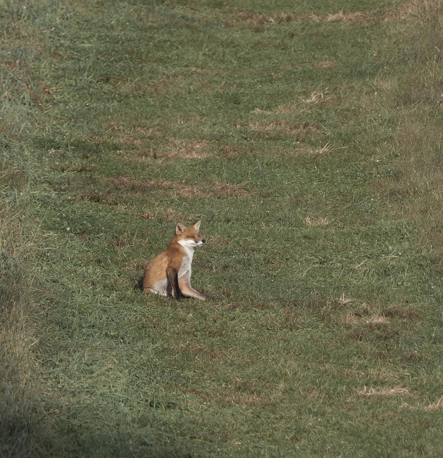 Fox sitting in the Sun 2 by Paul Ross