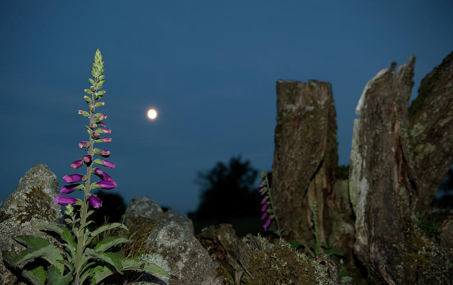 Foxglove and Moon ii by Helen Northcott
