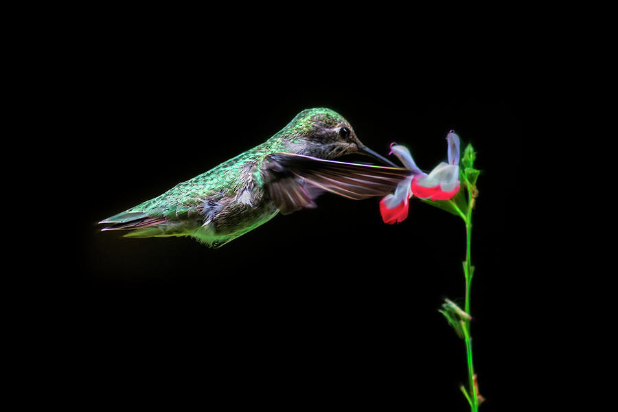 Fractal Green Anna Hummingbird Photograph