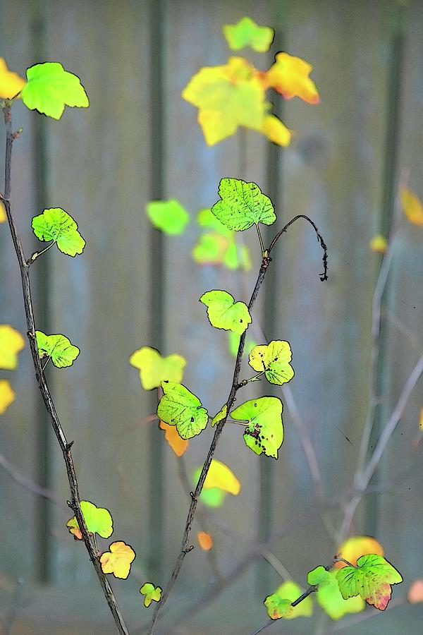 Fragile Bright Color Sketch Leaves by Jerry Sodorff