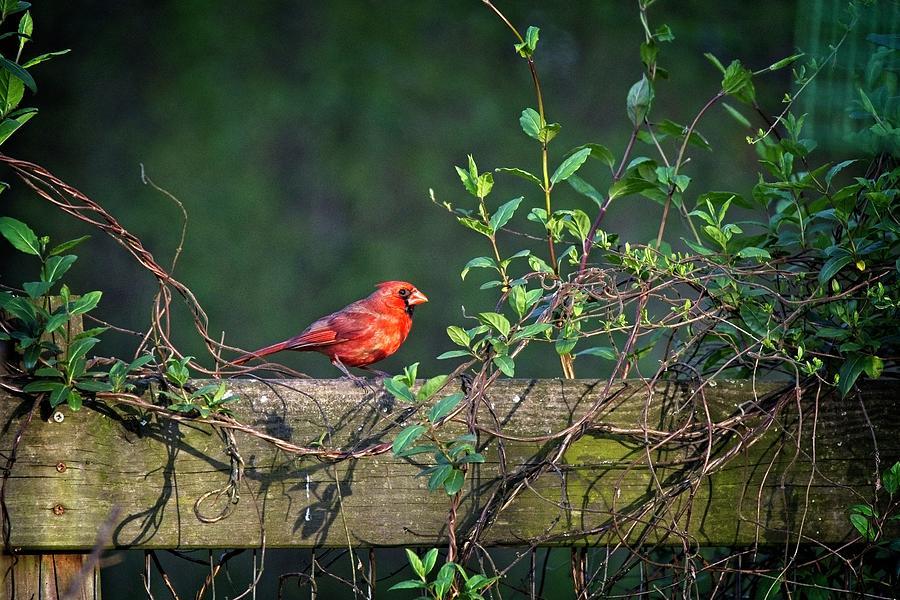 Framed Cardinal by John Benedict