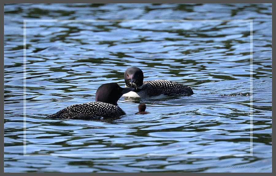 Framed Loon Parents and Chick by Sandra Huston