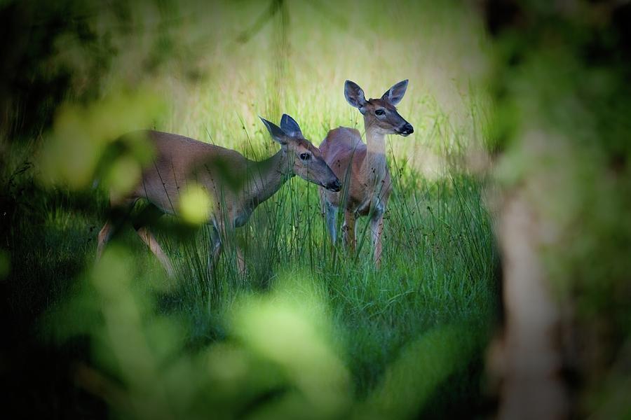 Framed Two Deer by T Lynn Dodsworth