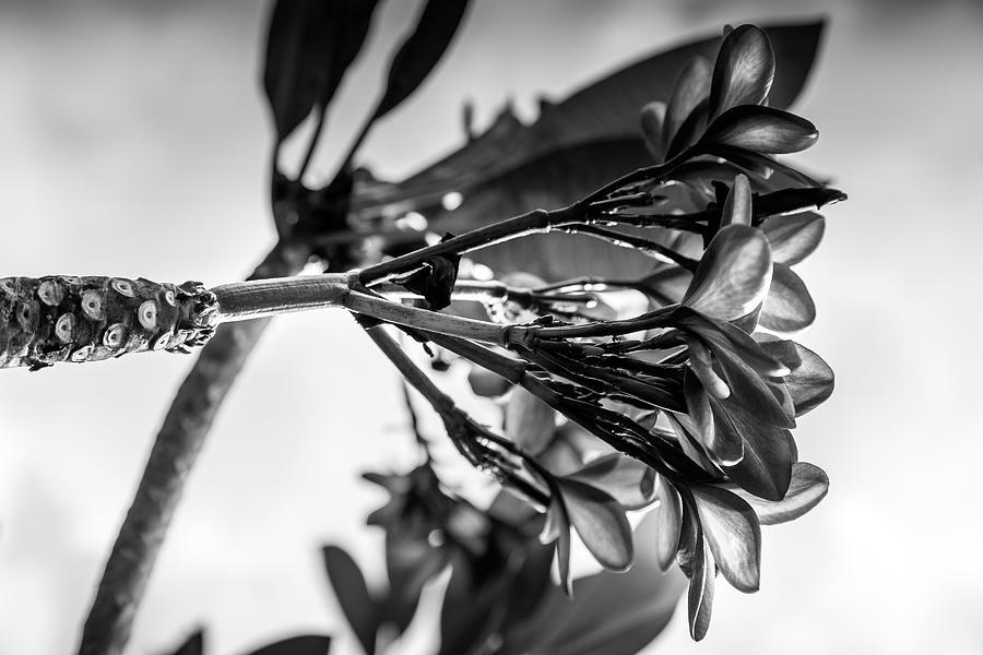 Frangipani - Black and White Botanical Gardens by Georgia Fowler