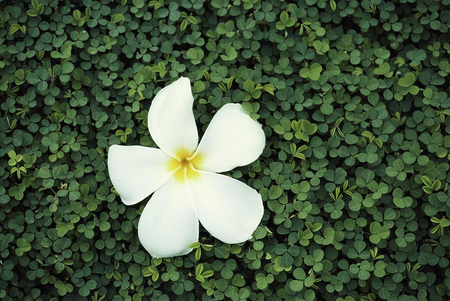 Frangipani Flower, South Pacific Photograph by Tim Graham