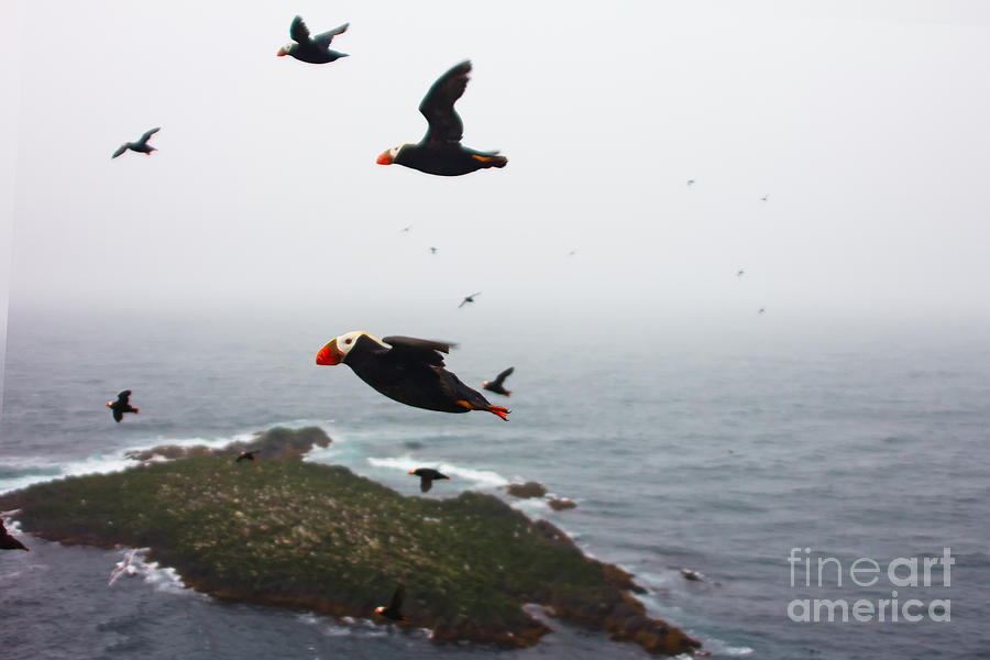 Feather Photograph - Fratercula Tufted Puffin, Fratercula by Maksimilian