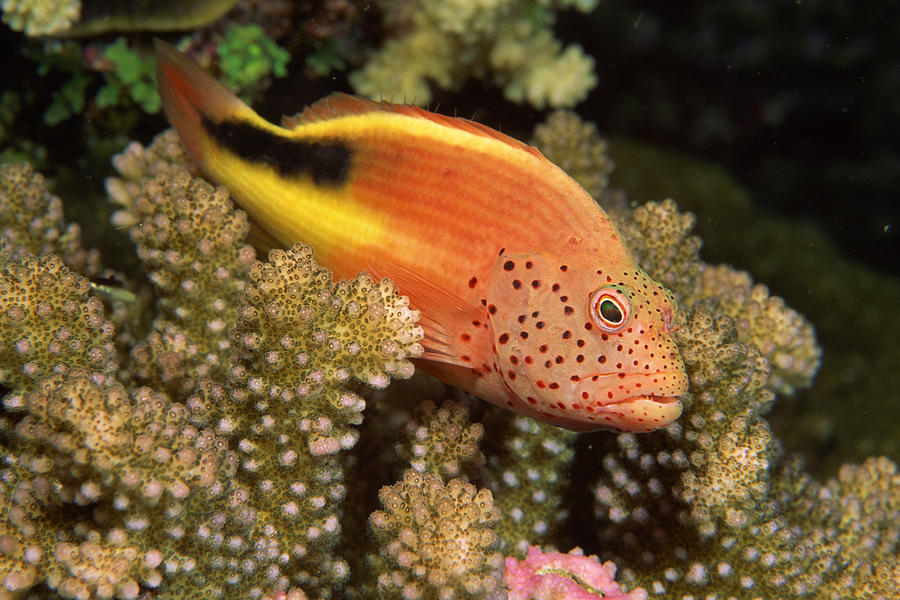Freckled Hawkfish Perches On Stony Photograph by Comstock