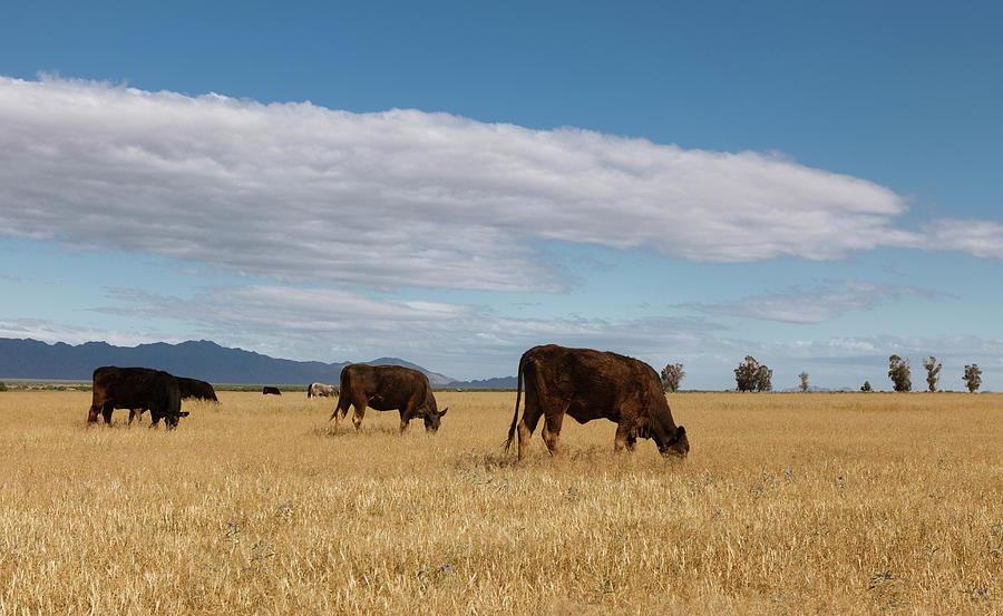 Free Range Beef Photograph by Dustypixel