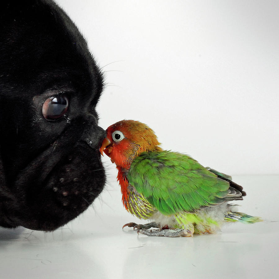 French Bulldog And Lovebird Photograph by Mascotas Y Varios