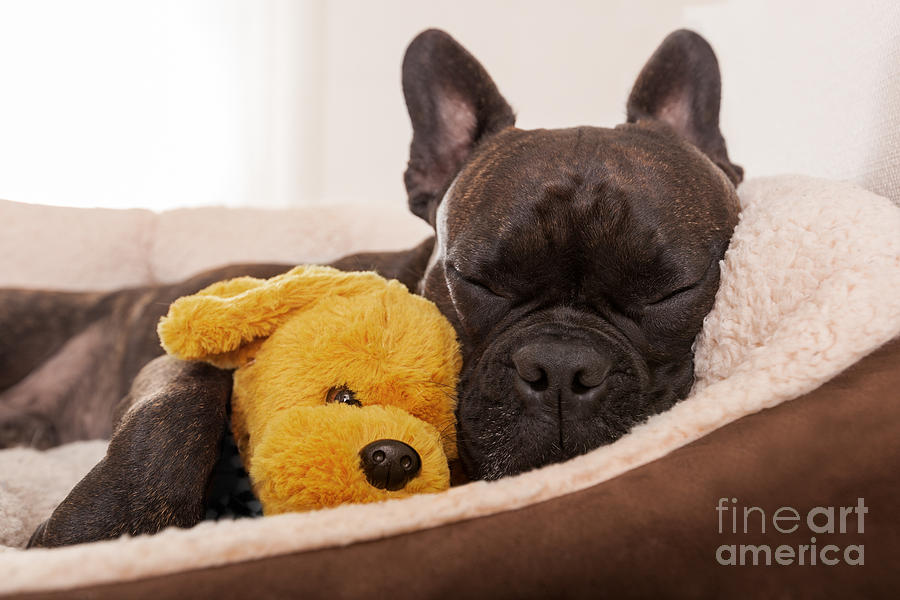 Bed Photograph - French Bulldog Dog Having A Sleeping by Javier Brosch