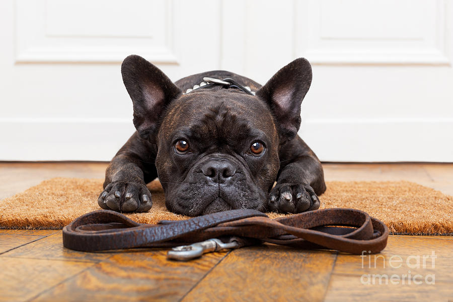 Door Photograph - French Bulldog Dog Waiting And Begging by Javier Brosch