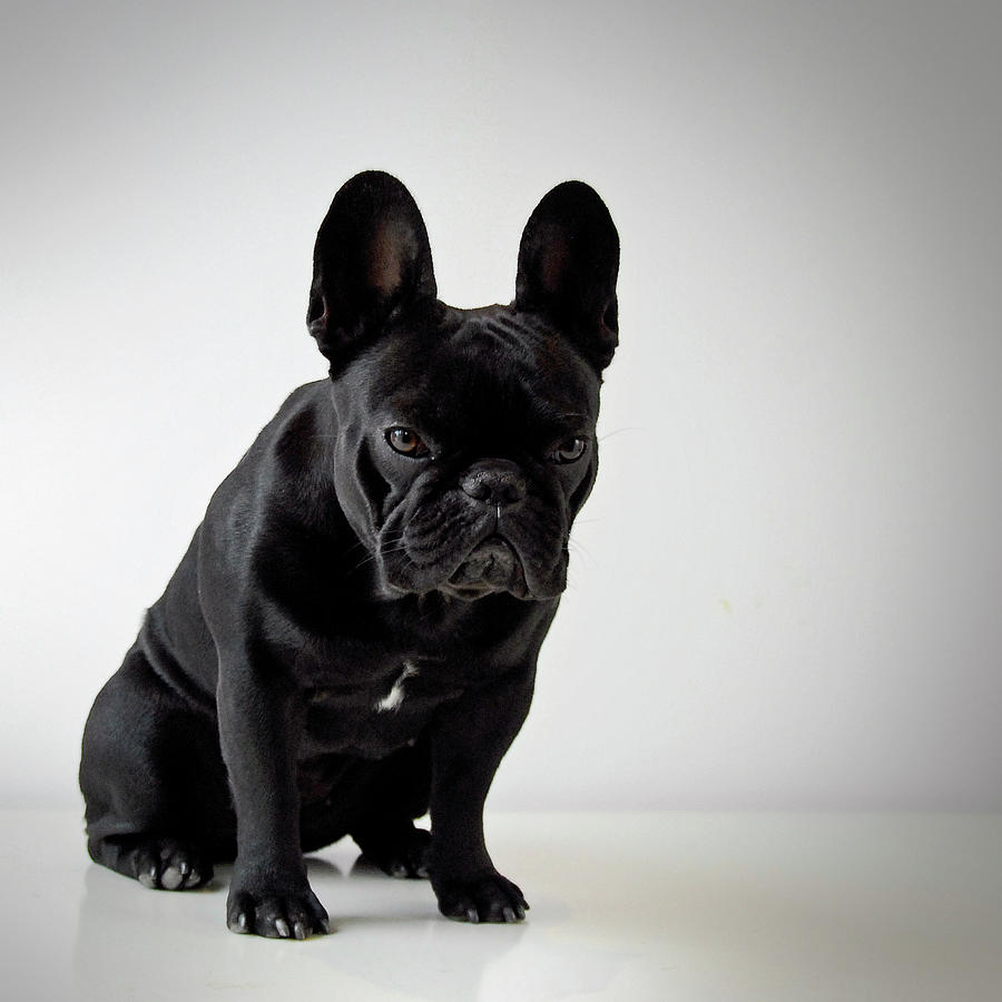 French Bulldog Photograph by Mascotas Y Varios