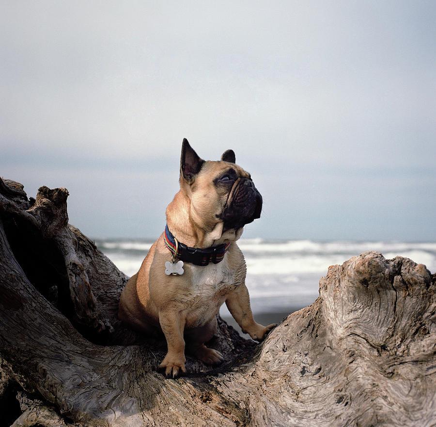 French Bulldog On Log At Beach Photograph by Danielle D. Hughson