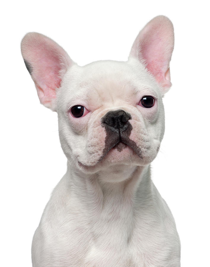 French Bulldog Puppy 5 Months Old Photograph by Life On White