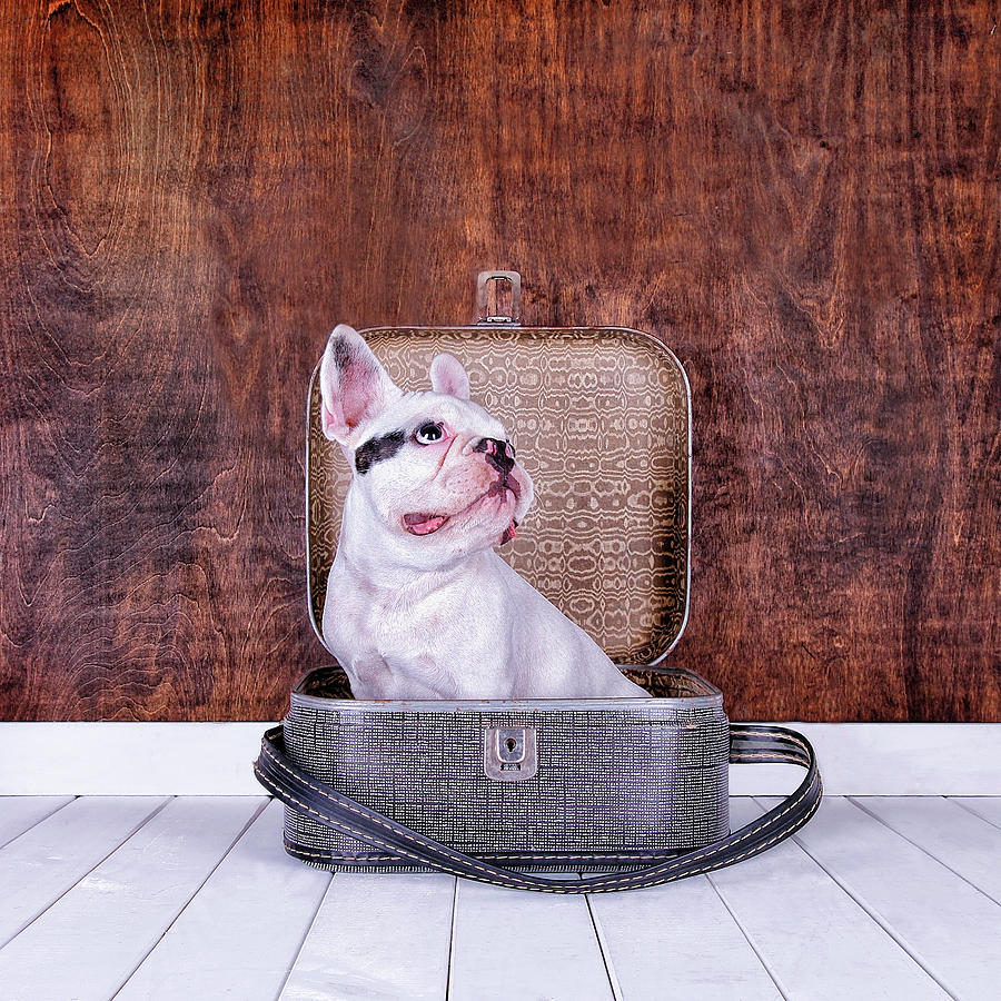 French Bulldog Puppy Inside An Old Photograph by Maika 777