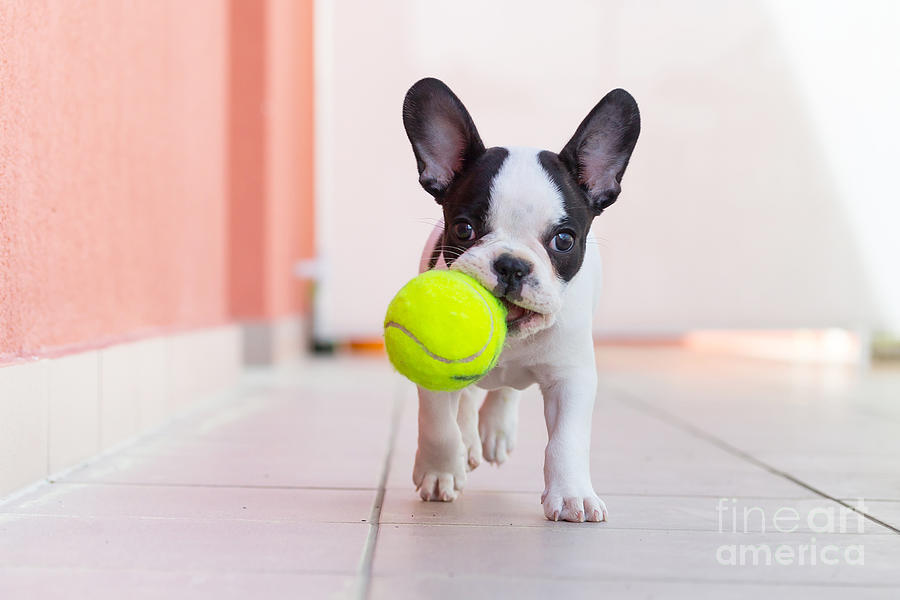 Play Photograph - French Bulldog Puppy Playing With His by Kwiatek7