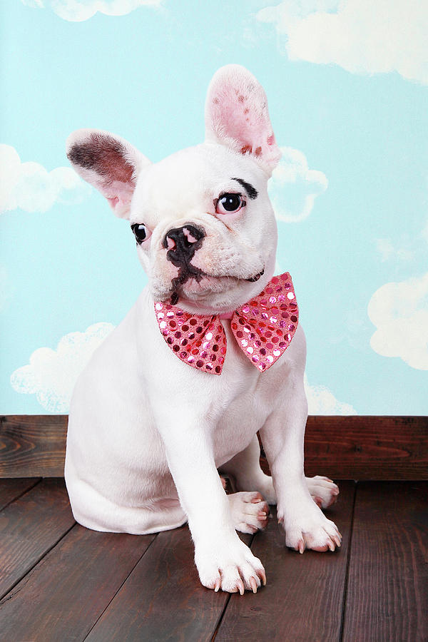 French Bulldog Puppy With Pink Bow Tie Photograph by Maika 777
