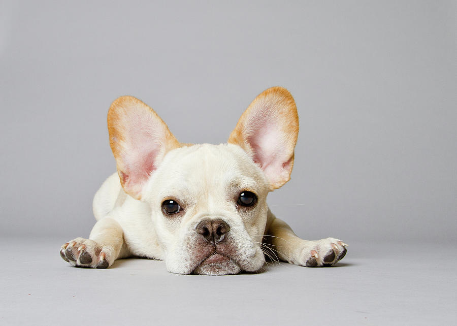 French Bulldog Photograph by Square Dog Photography