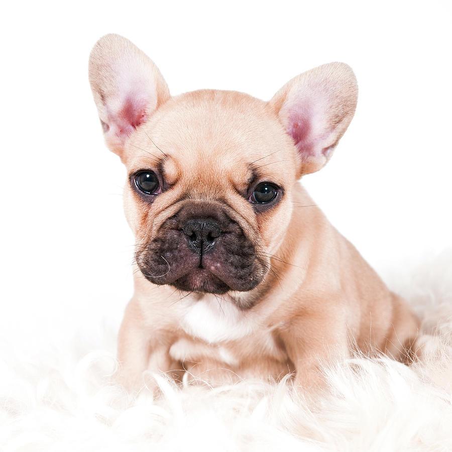 French Bulldog Photograph by Thor Hakonsen