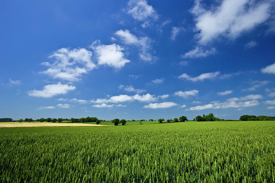 Fresh Air. Blue Skies Over Green Wheat Photograph by Alvinburrows