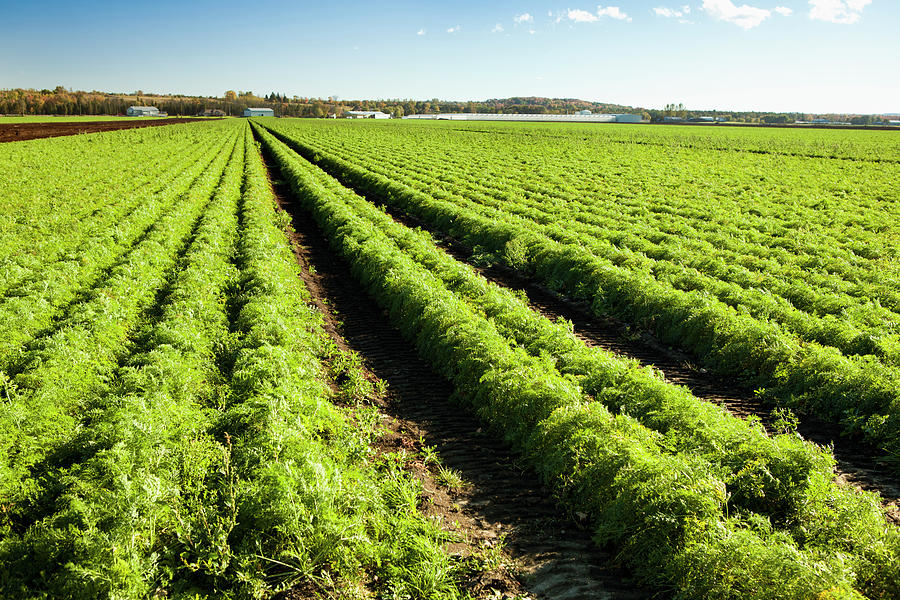 Fresh Carrots Planted On A Farm Field Photograph by Pgiam
