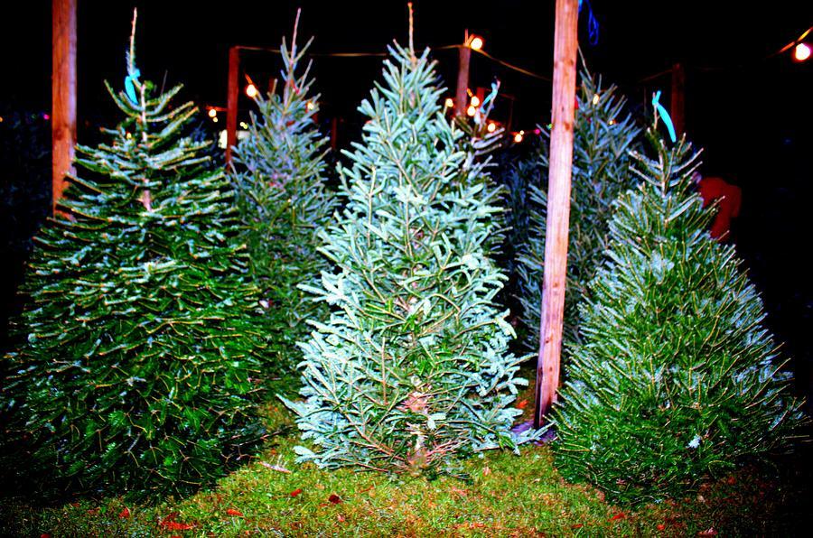 Fresh Christmas Trees.Fresh Christmas Trees