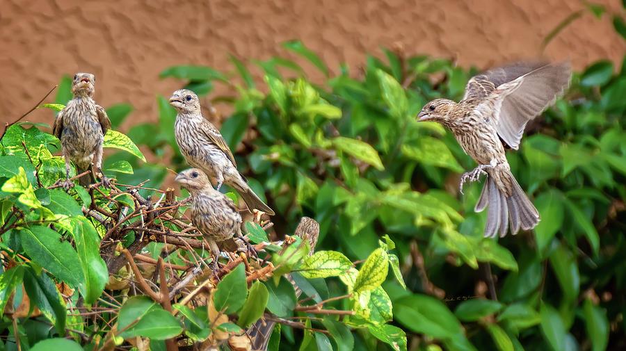 Fresh Finch Flock H1914 Photograph