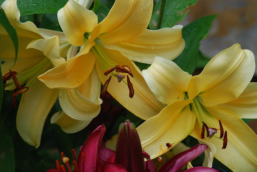 Fresh Lilies Photograph By Ee Photography