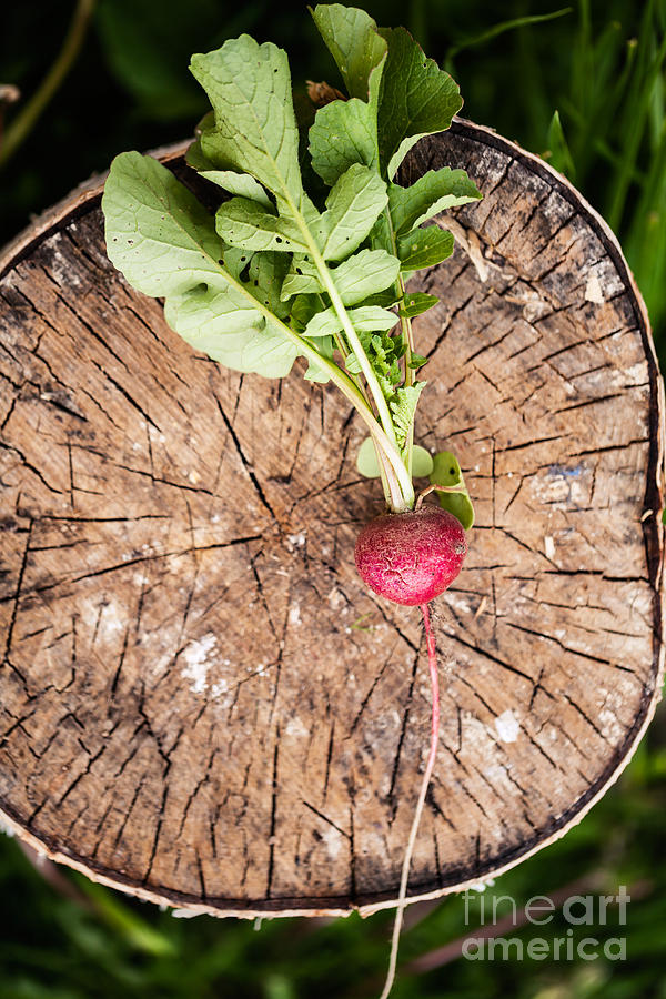 Small Photograph - Fresh Radish On The Birch Stumb by Naturephotography
