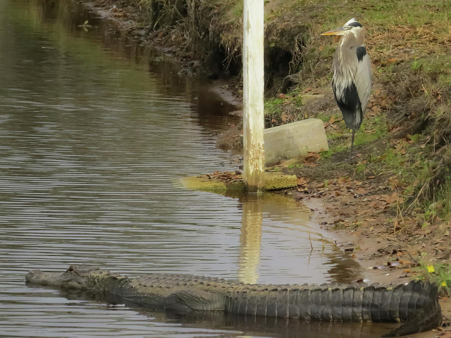 Alligator Photograph - Friendly Hunting Together by Zina Stromberg