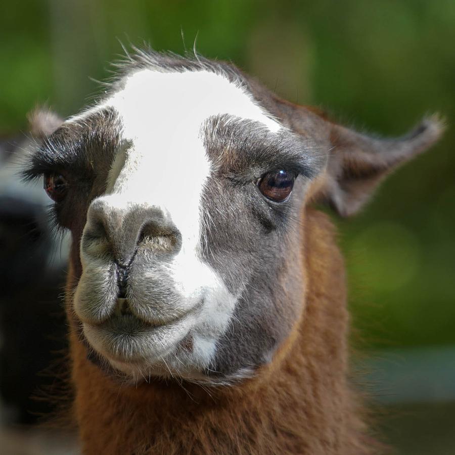 Friendly Llama by Susan Rydberg