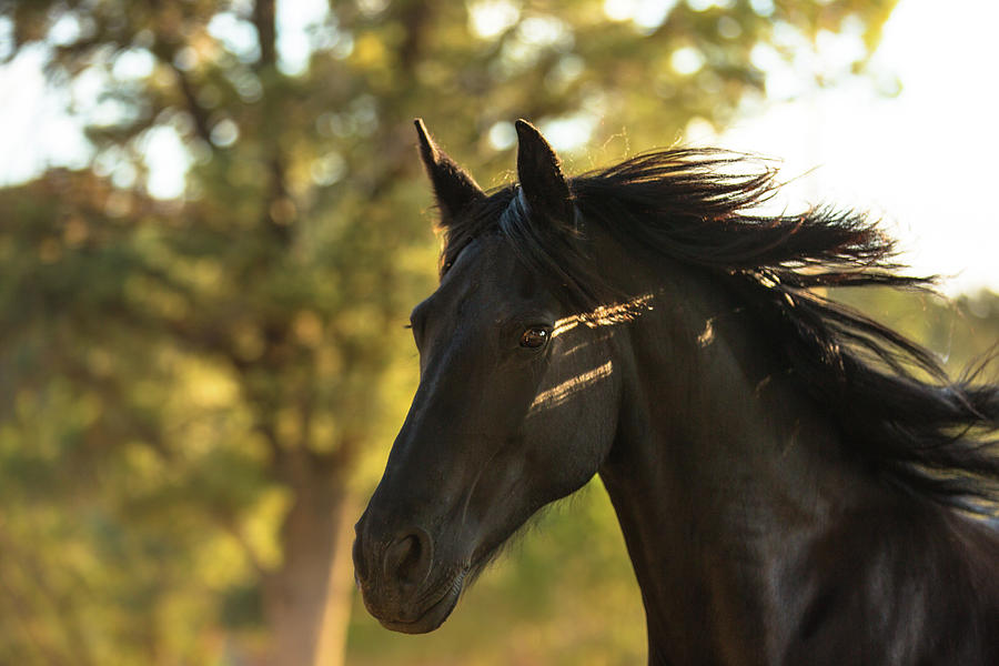 Friesian Mare in Fall by Anett Mindermann