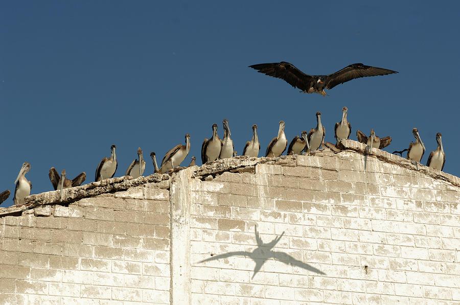 frigate bird shadow on wall by David Shuler