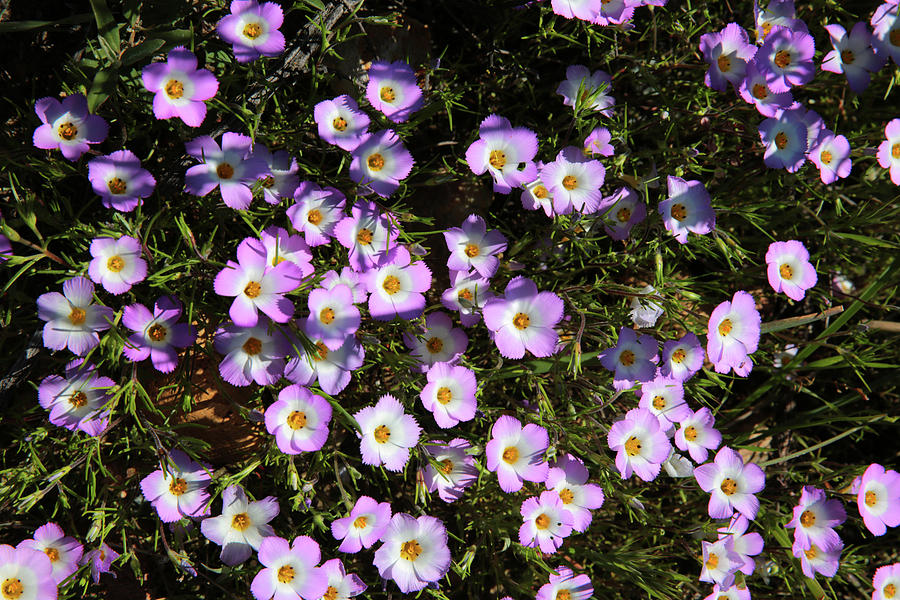Flower Photograph - Fringed Linanthus by Robin Street-Morris