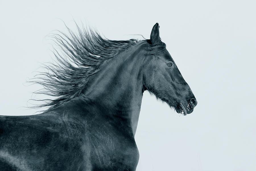Frisian Horse Photograph by Photographs By Maria Itina