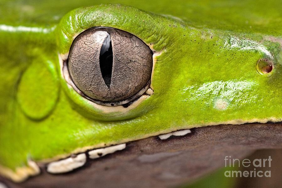 Close Up Photograph - Frog Eye Amphibian Vertical Pupil by Dirk Ercken