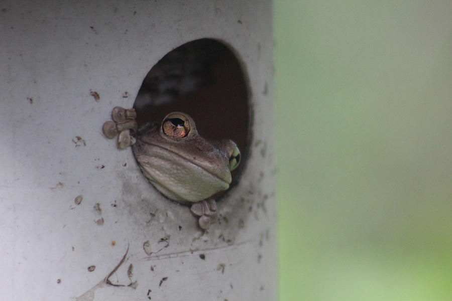 American Bullfrog Photograph - Frog In A Birdhouse by Callen Harty