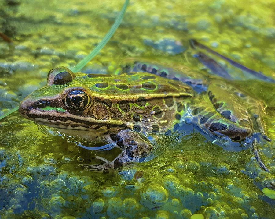 Frog In A Bog by Bill Pevlor
