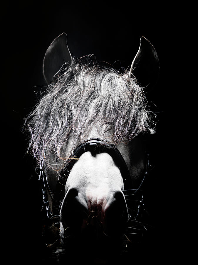 Frontal Head Portrait Of Grey Horse Photograph by Henrik Sorensen