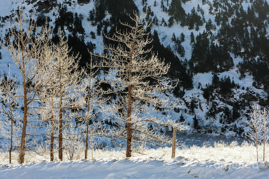 Sunlight Photograph - Frost Covered Trees On The Portage Glacier Highway Alaska by Louise Heusinkveld