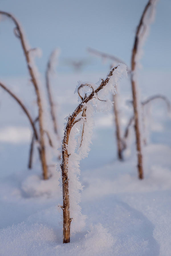 Frost On a Stick by Bill Pevlor