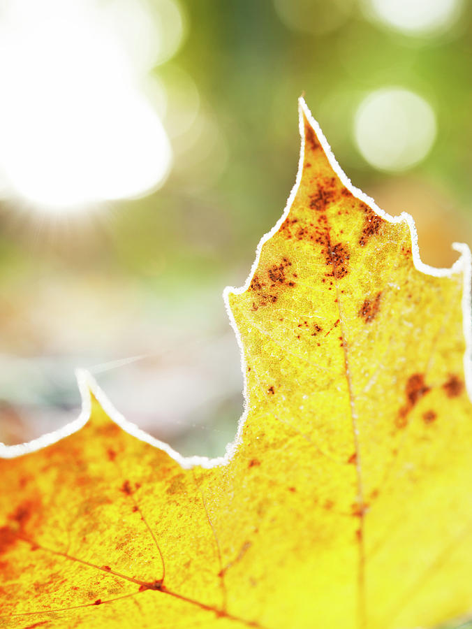 Frost On Autumn Leaf, Detail Photograph by Johner Images