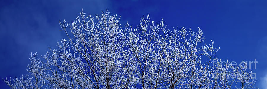 frosted  tree blue sky  by Tom Jelen