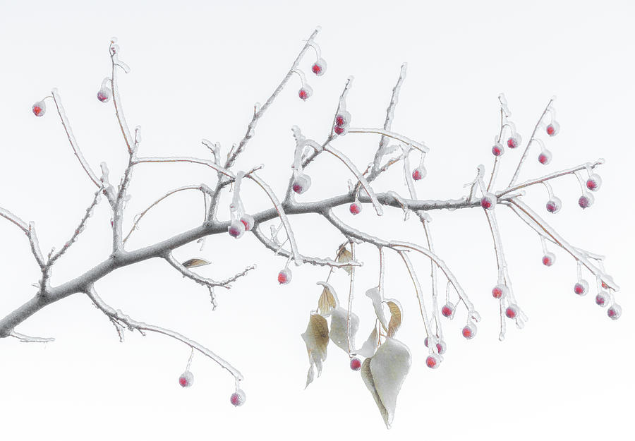 Frosted Berries Photograph