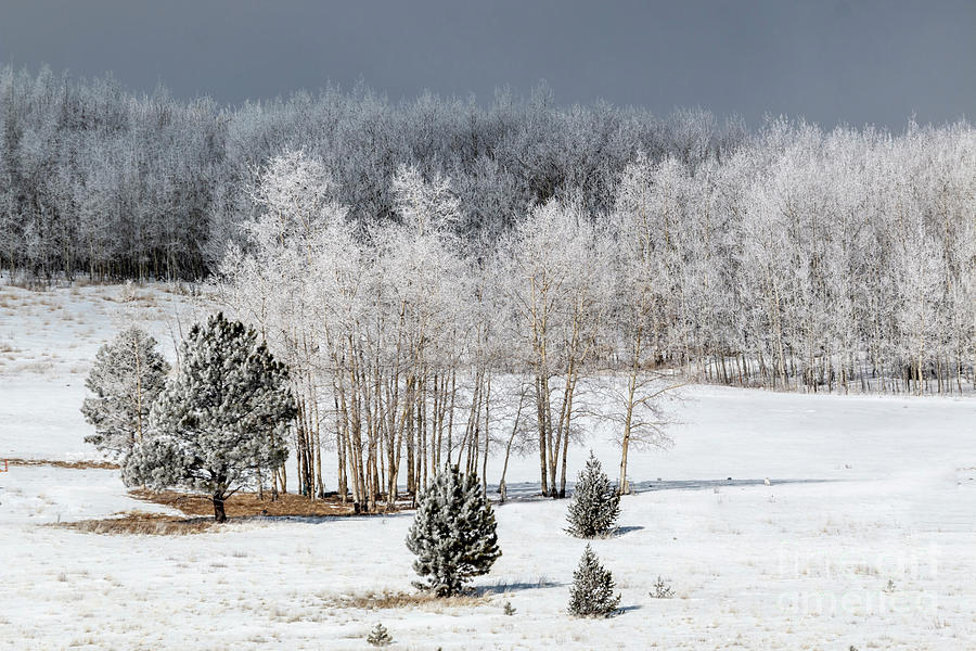 Frosty Colorado Forest Photograph