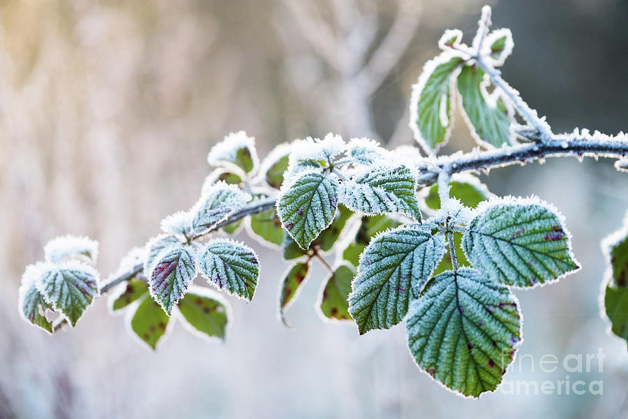 Below Zero Photograph - Frosty Leaves by Keith Morris
