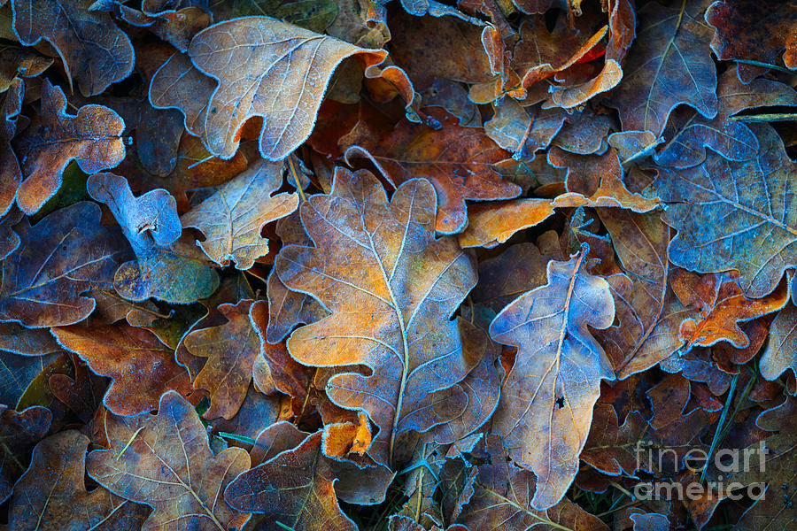 Forest Photograph - Frozen Oak Leafs - Abstract Natural by Pavel klimenko