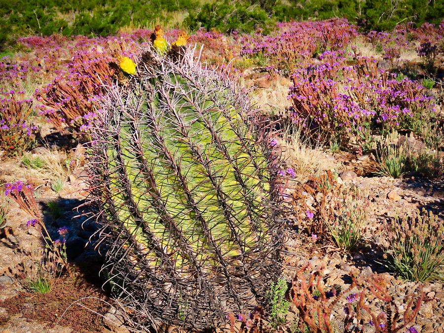 Fruit-Bearing Barrel Cactus in Desert Rhubarb by Judy Kennedy
